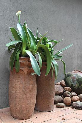 Haemanthus albiflos in pots Image by Emmarie Otto