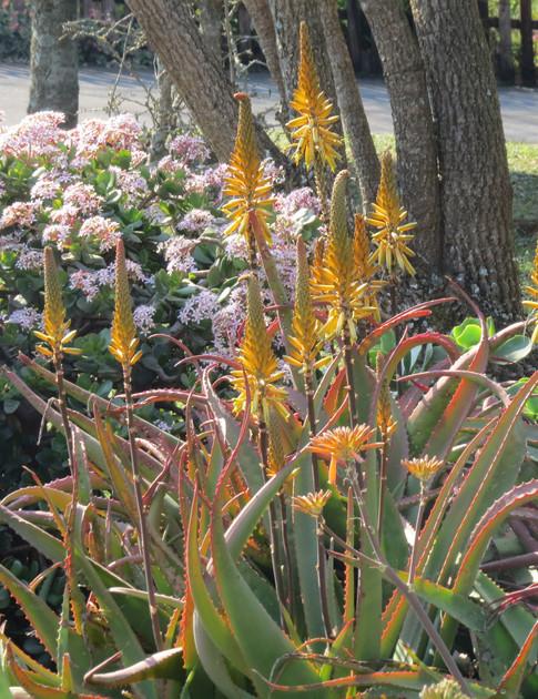 Aloe-vanbalenii & Crassula ovata
