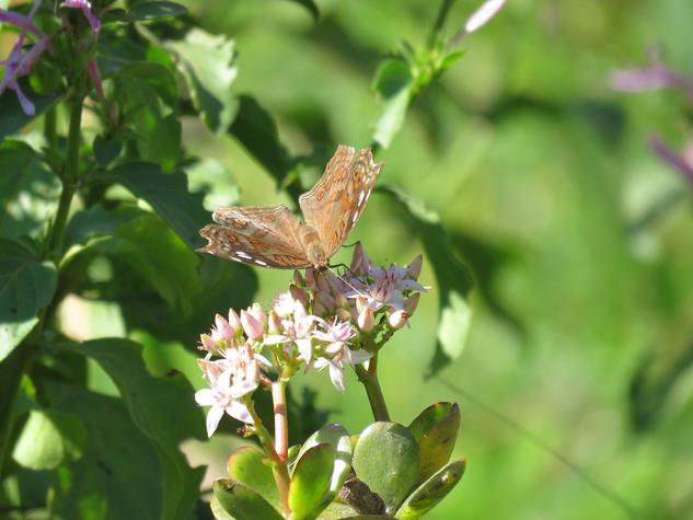 Butterfly-on-Crassula-ovata