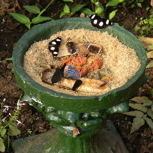 Bird bath filled with fermented fruits