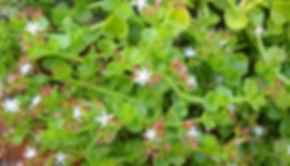 Crassula spathulata