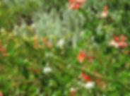 Plectranthus neochilus & Euryops pectinatus