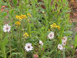 Gerbera ambigua and Helichrysum