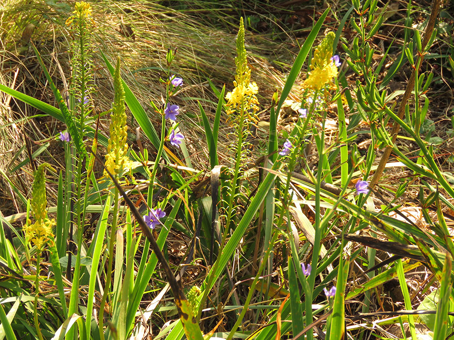 Aristea and Bulbine latifolia
