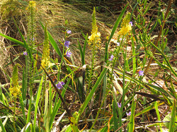 Aristea and Bulbine latifolia