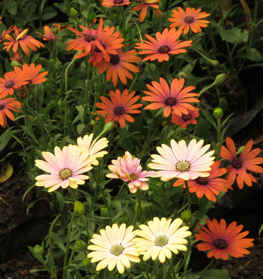Osteospermums - brick red or with a blush of pink