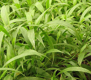 Plectranthus ciliatus 'Shasha'  & Plectranthus zuluensis