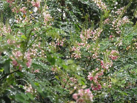 Indigofera frutescens
