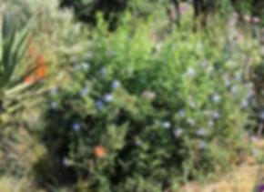 Plumbago auriculata