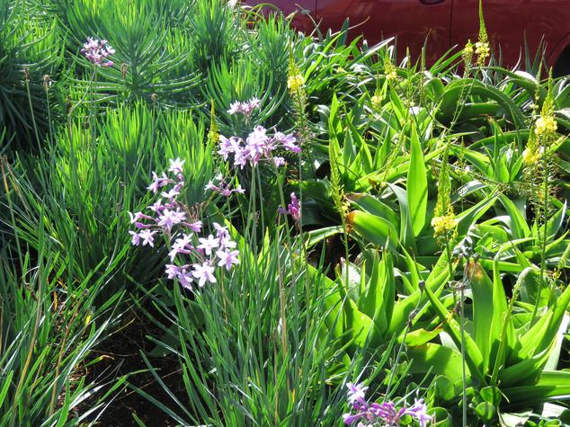 Bulbine latifolia, Tulbaghia and Curio