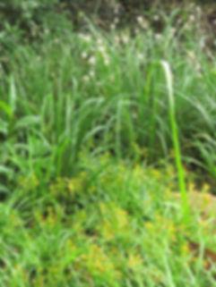 Chlorophytum saundersiae