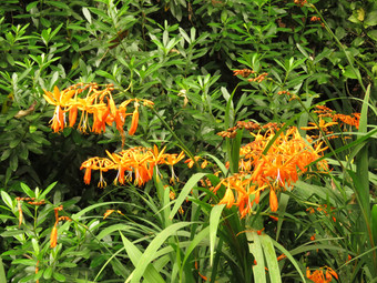 Crocosmia with Strophanthus in the background