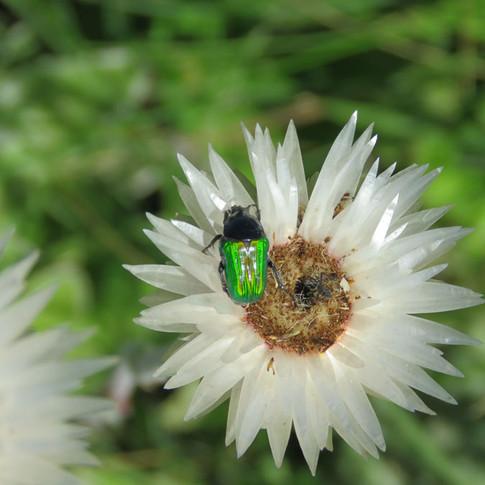 Emerald Beetle on Helichrysum ecklonis