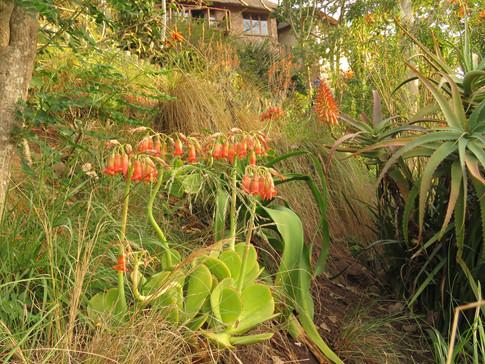 Grasses and Cotyledon orbiculata