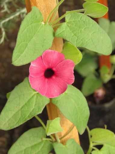 A dark rose-pink