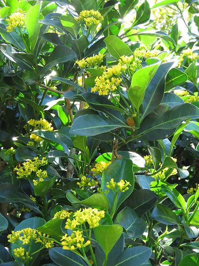 Psychotria capensis