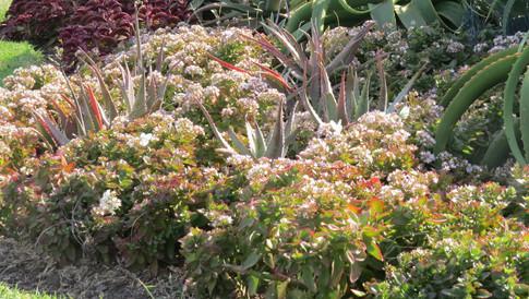 Aloe chabaudii & Crassula sarmentosa
