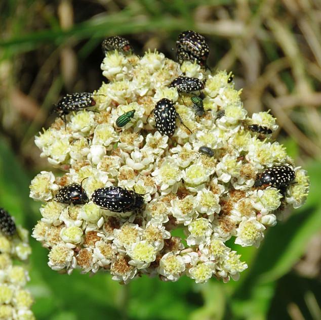 Beetles-on-Helichrysum-cropped.jpg