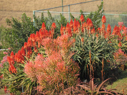 Spectacular Winter Aloes