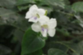 Asystasia gangetica