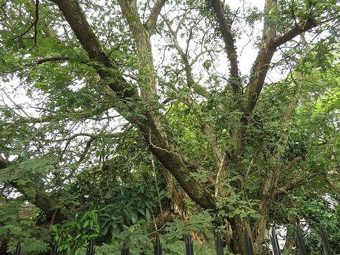Senegalia (Acacia)burkei