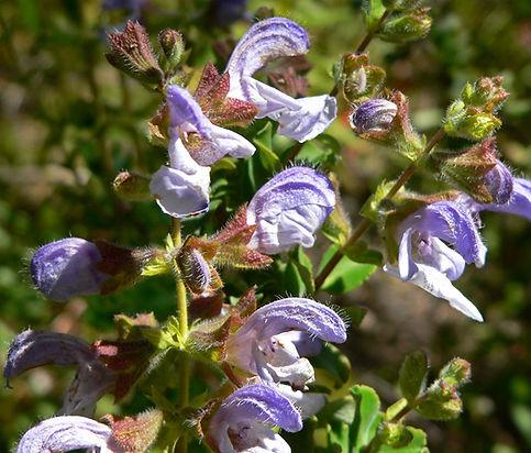 Salvia africana- caerulea