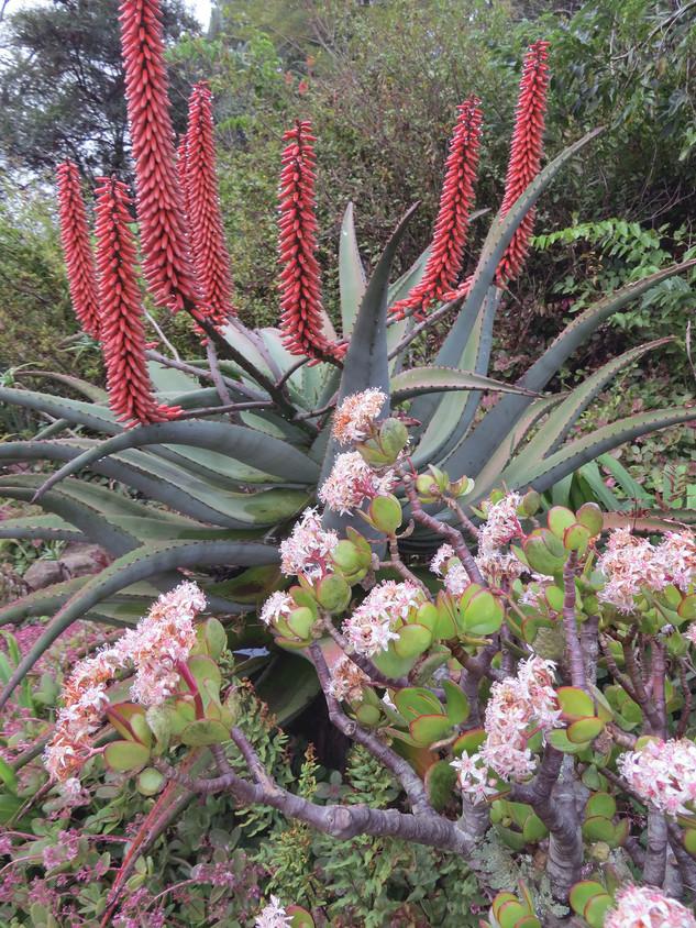 Crassula-ovata-and-Aloe-ferox