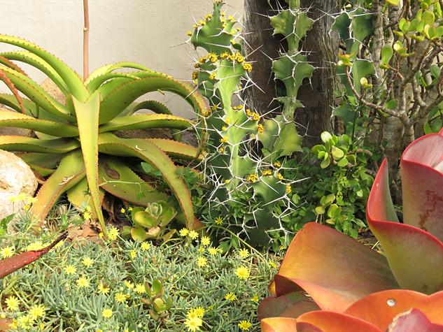 Aloe vanbaleni & Euphorbia grandicornis