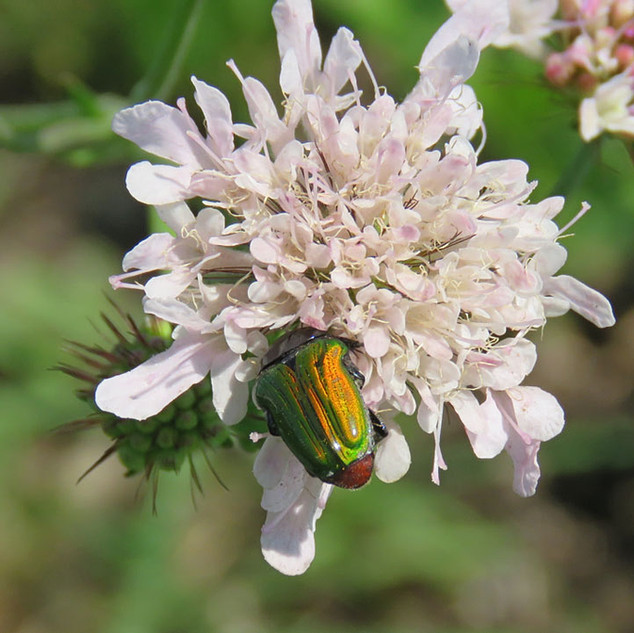 Multicoloured-chafer-beetle-on-Scabious