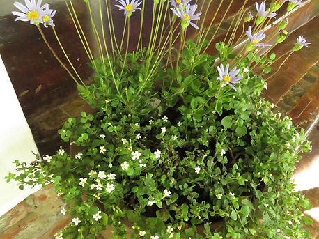 Felica amelloides for containers