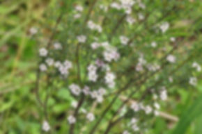 Coleaonema species