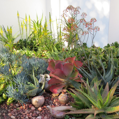 Aloe chabaudii in flower, with yellow flowering Bulbine latifolia behind. Crassula multicava tuck in behind the Blue Chalk Sticks.
