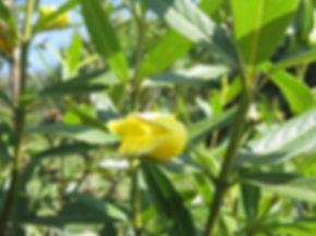 Bowkeria citrina