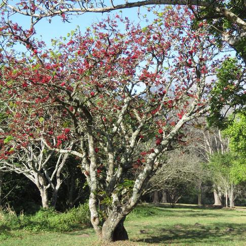Schotia brachypetala is often a thickset tree
