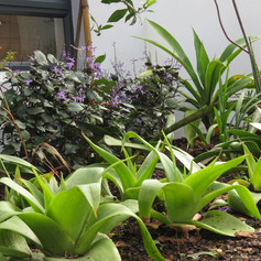 Bulbine latifolia & Plectranthus Mona Lavender