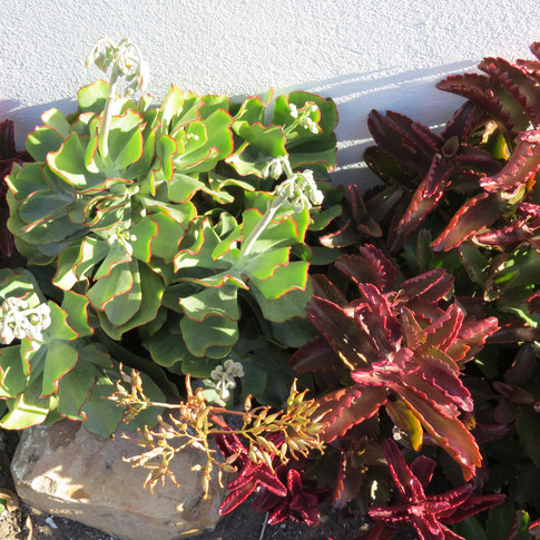 Cotyledon species with the winter-red leaves of Kalanchoe sexangularis