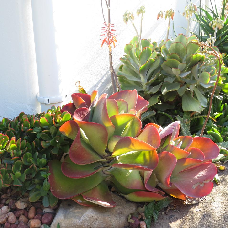 Front front: Crassula ovata Gold; Kalanchoe thyrsiflroa; Cotyledon orbiculata