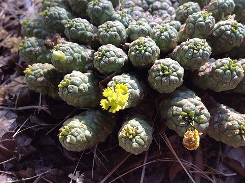 Euphorbia clavaroides