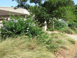 Plumbago makes a beautiful soft hedge