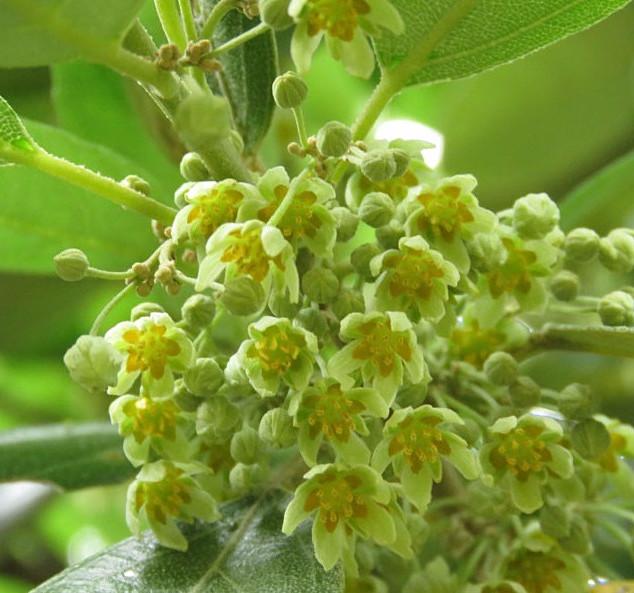 Kiggelaria-africana-flowers_edited.jpg