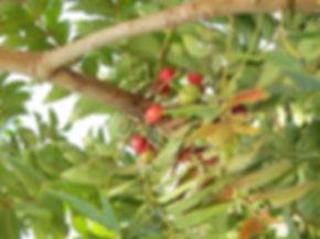 Harpephyllum caffrum
