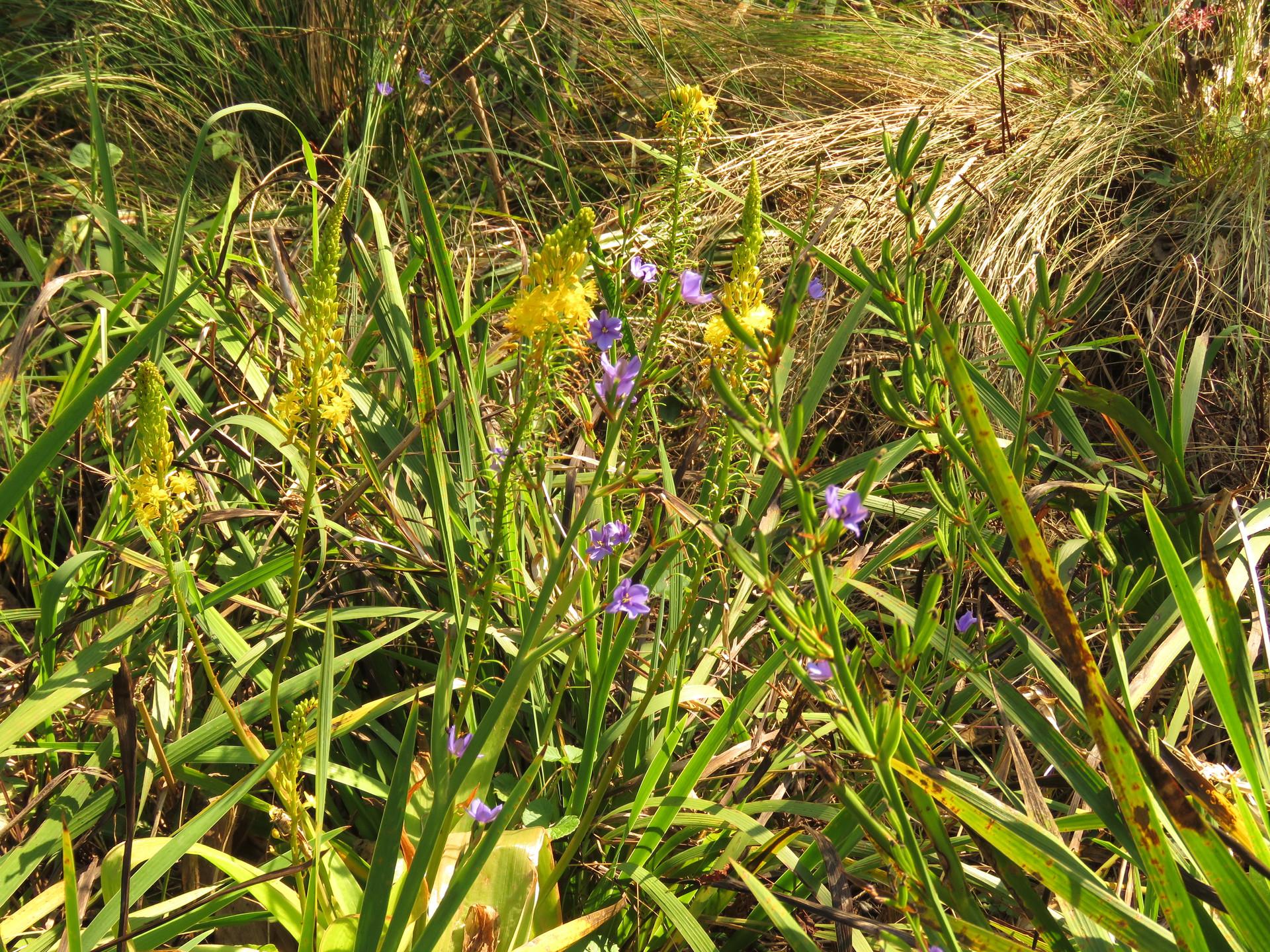 Aristea ecklonii and Bulbine latifolia
