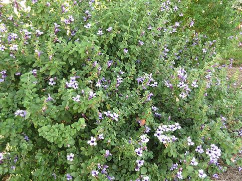 Dyschoriste thunbergiiflora