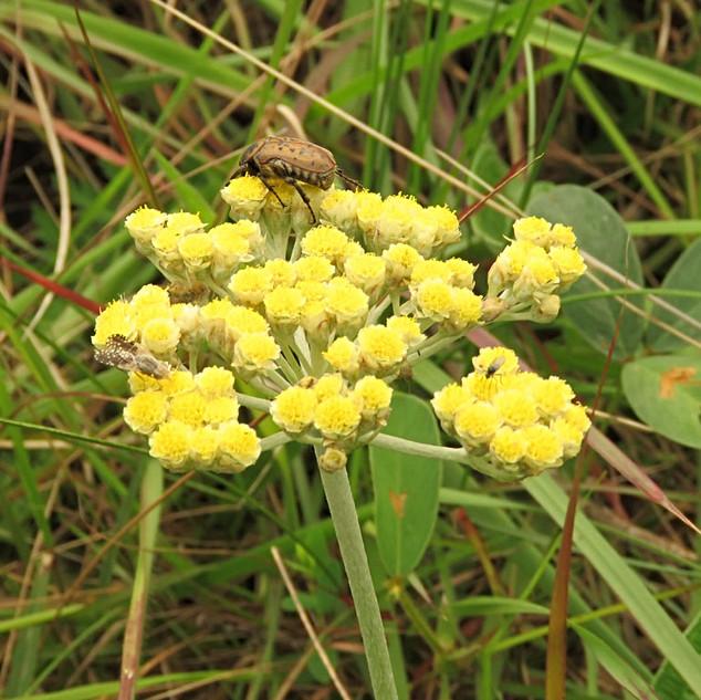 Beetle-on-yellow-helichrysum