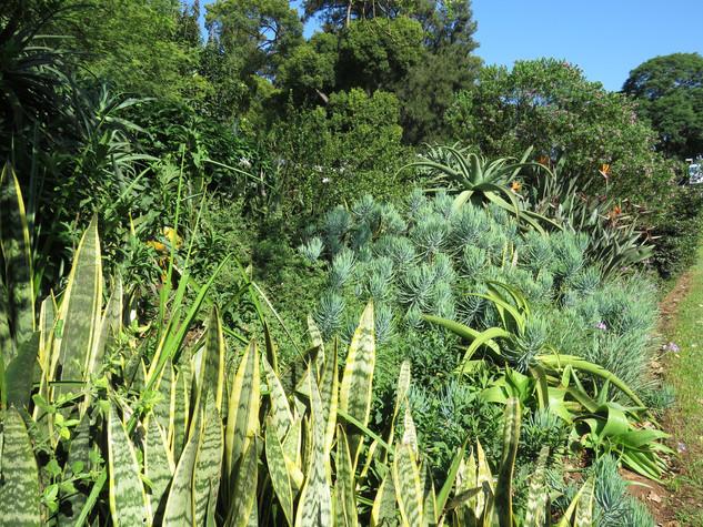 Sansevieria hyacinthoides and Curio