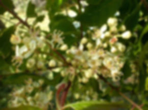 Clausena anisata