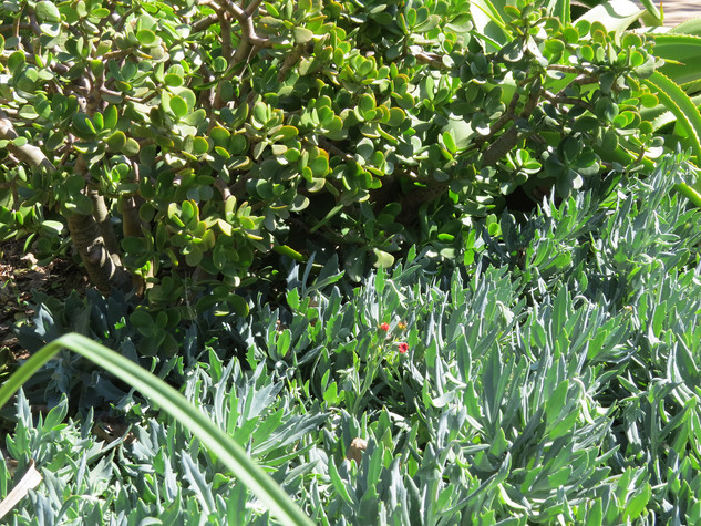 Crassula-ovata-and-Kleinia-fulgens