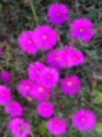 Lampranthus amoenus