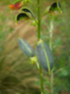Crotalaria natalitia