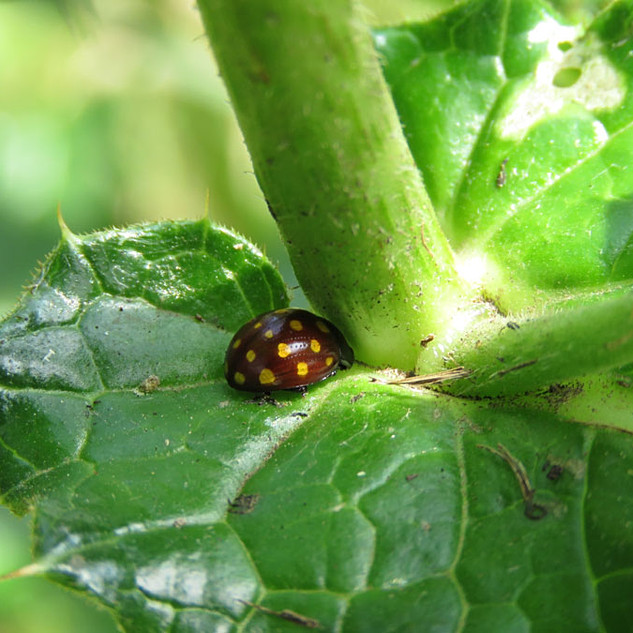 Marmonia-vigintiduomaculata-Checquered-Ladybird.jpg